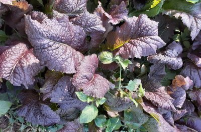 organic mustard greens