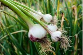 Organic Fresh Garlic
